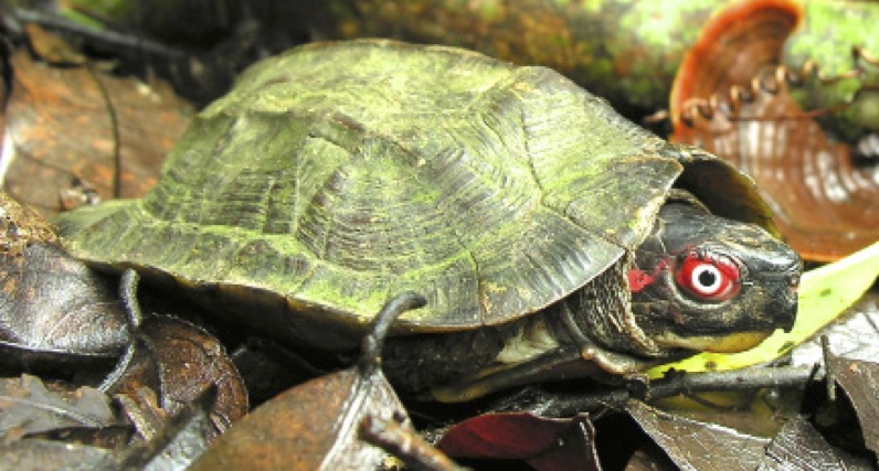 Cochin forest cane turtle