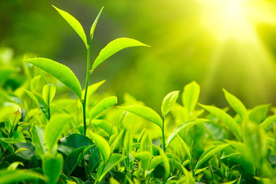 Tea Plant: Health Benefits and Applications