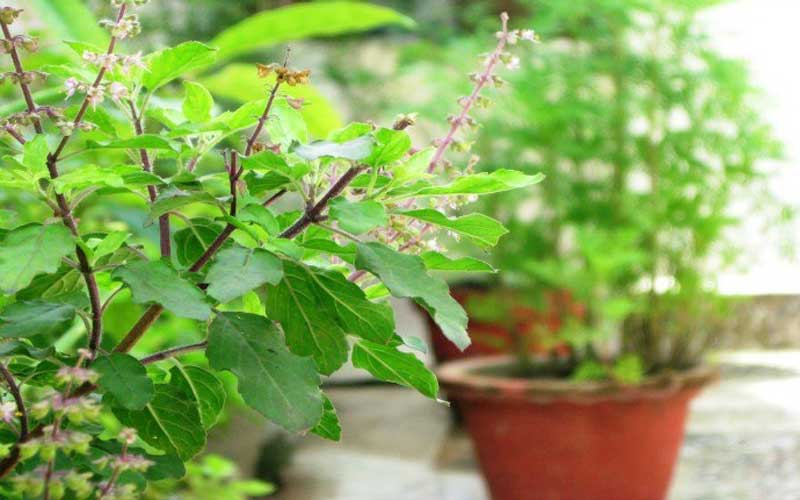 Tulsi Leave be The Best