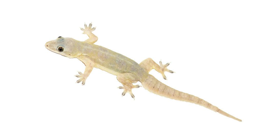 Lizards falling on your body