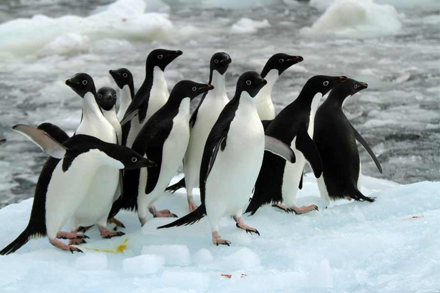 she manage to clean oiled penguins