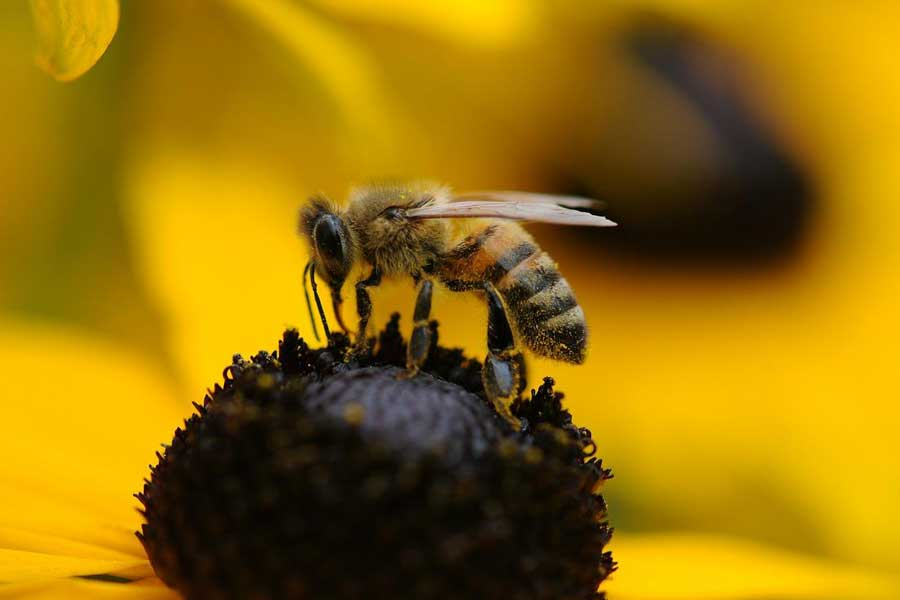 Drones (Male) honey bees die immediately after mating
