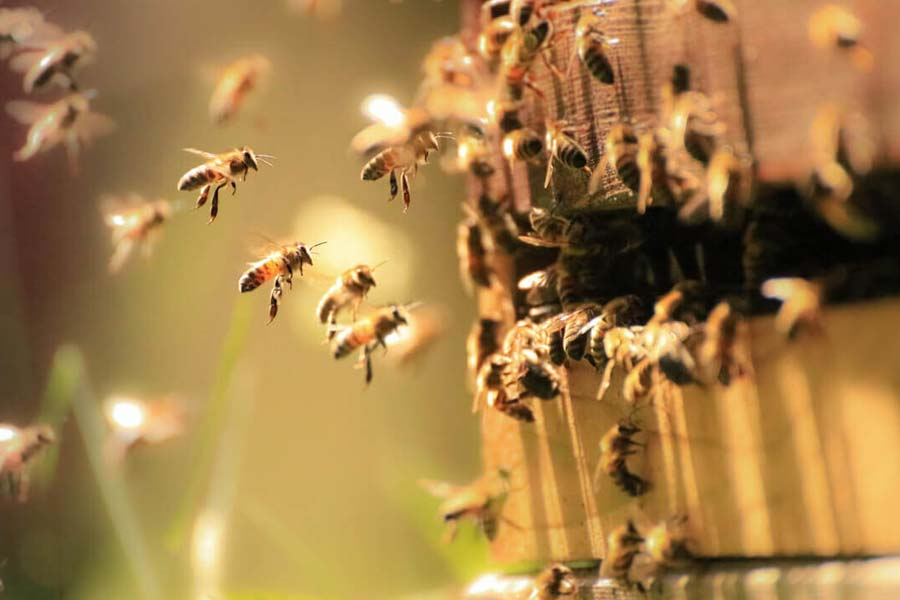 Bees dance for good food