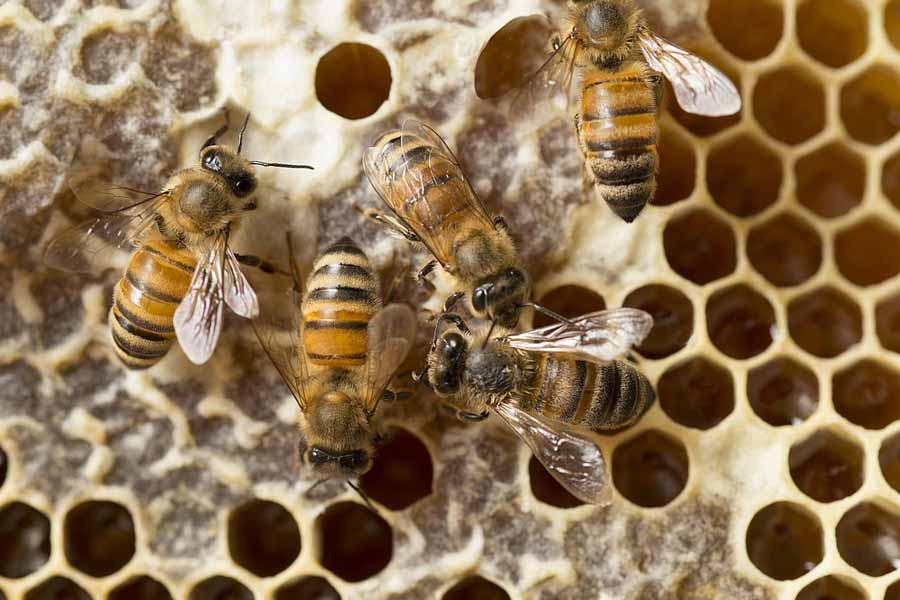 A single worker bee produces about 1/12th of a teaspoon of honey