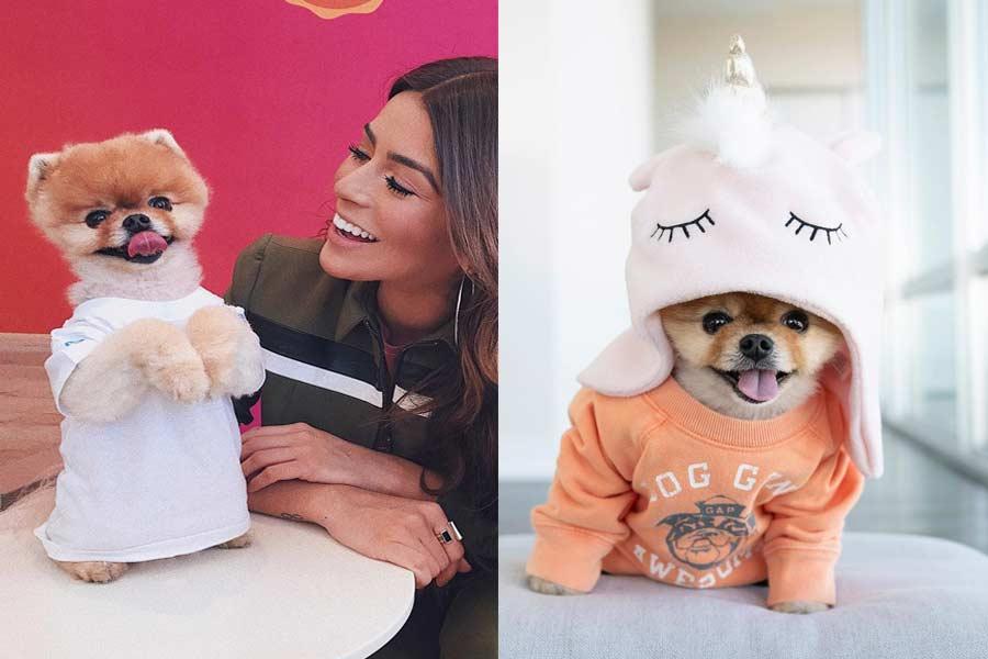 Cute Pomeranian Doggo, Jiffpom is A Big Instagram Superstar