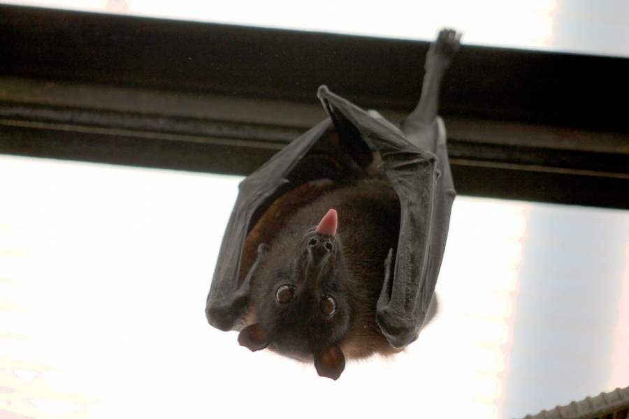Bats always hang upside down