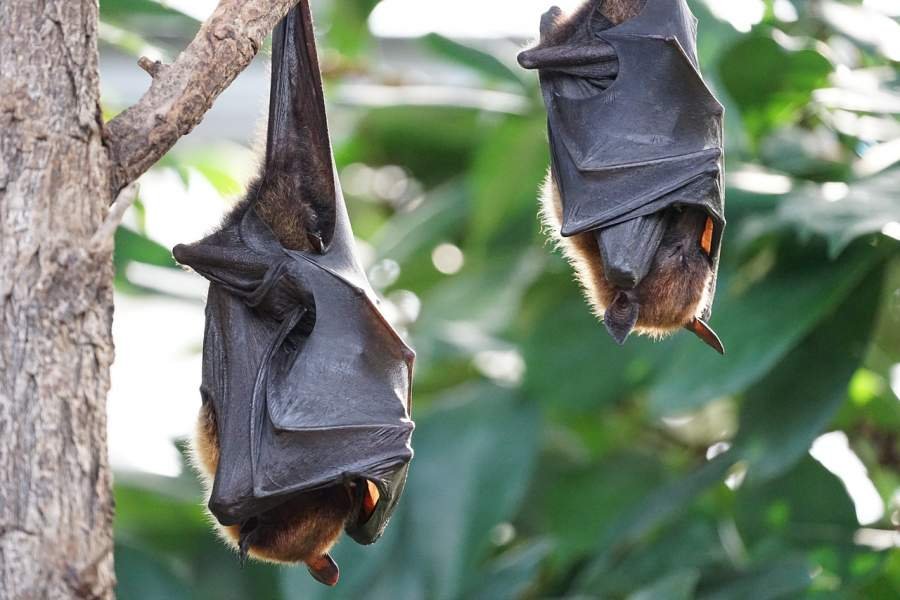 6 Popular Myths Related To Bats Busted