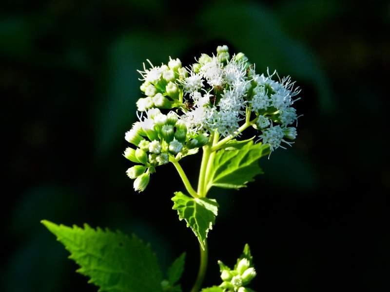 White Snakeroot Plant