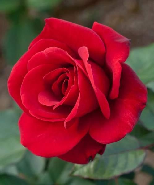 June: Rose