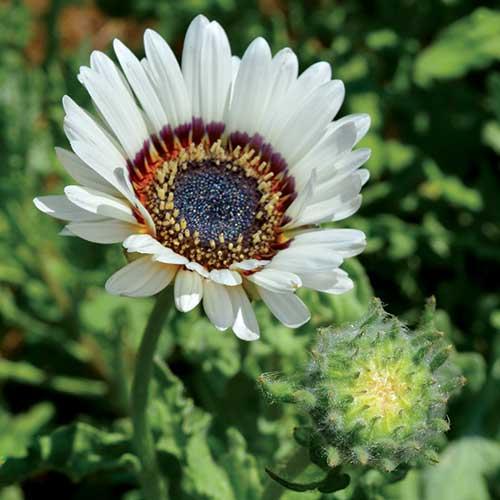 April: Daisy