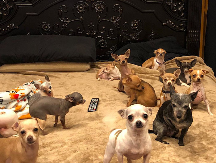 Guy Rescues Chihuahas