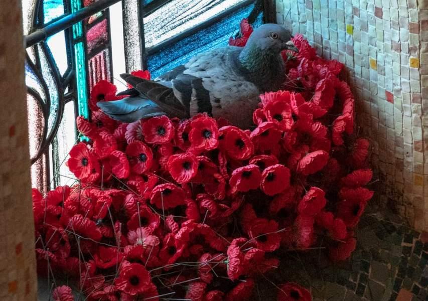 Pigeon steals Poppies