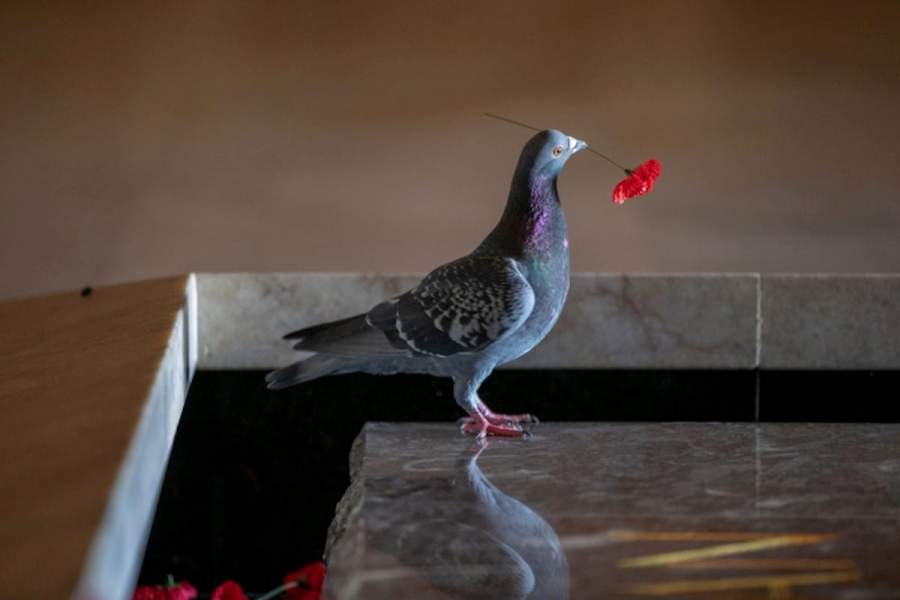 Pigeon Found Stealing Poppies