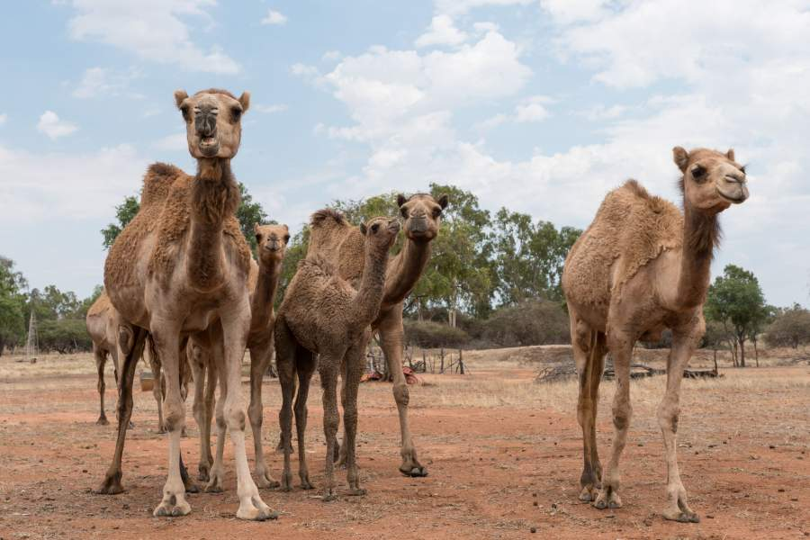 Australia Orders To Shoot 10000 Feral Camels