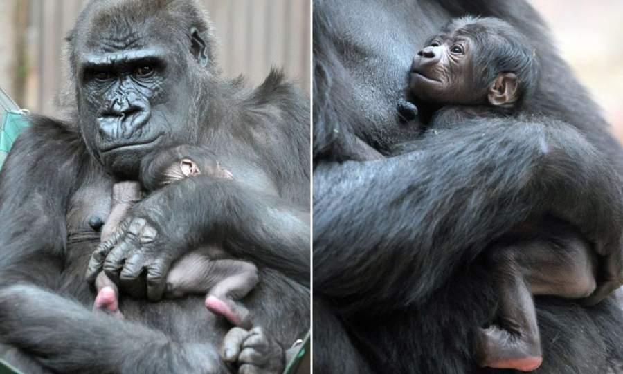 Los Angeles Zoo Welcomes Baby Gorilla Girl