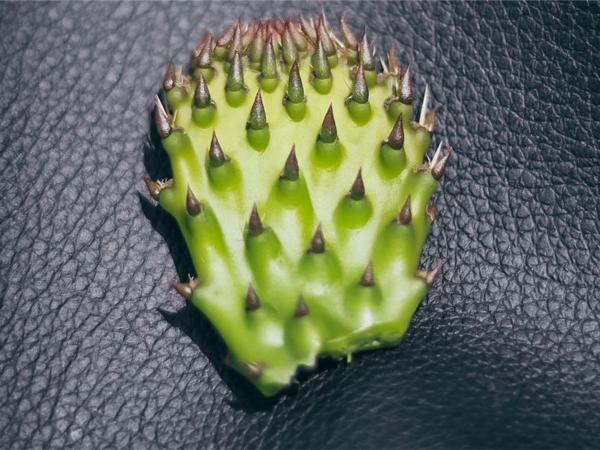 Cactus Leather Vegan in Mexico