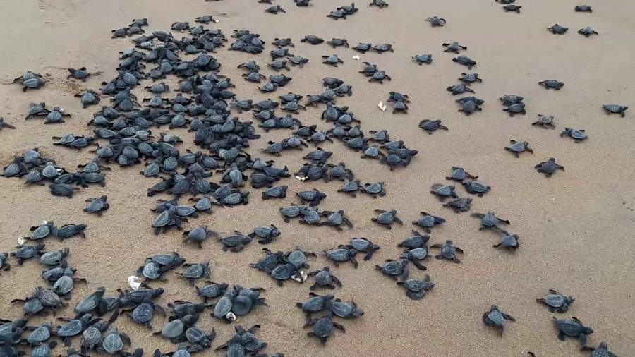 Olive Ridley Turtles Have Returned To Odisha's Shore For Mass Nesting