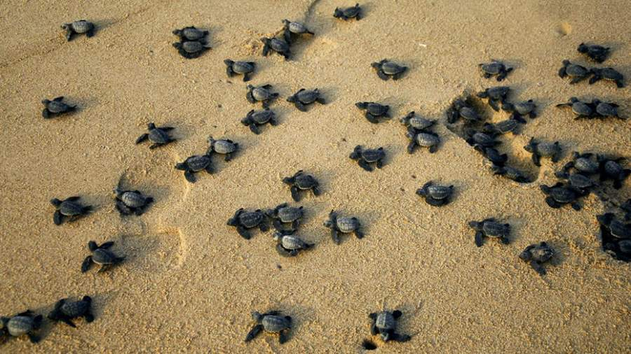 Olive Ridley Turtles Have Returned To Odisha's Shore