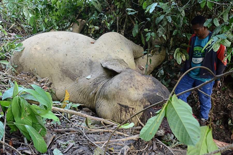 Sumatran elephant found dead