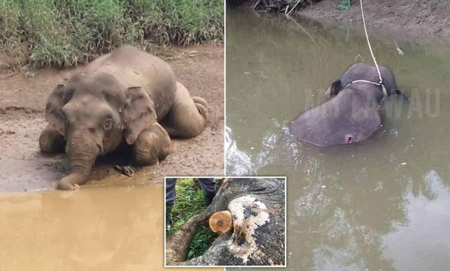 Borneo pygmy elephant was mercilessly shot 70 times