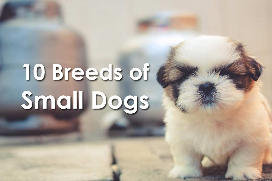 10 Breeds of Small Dogs