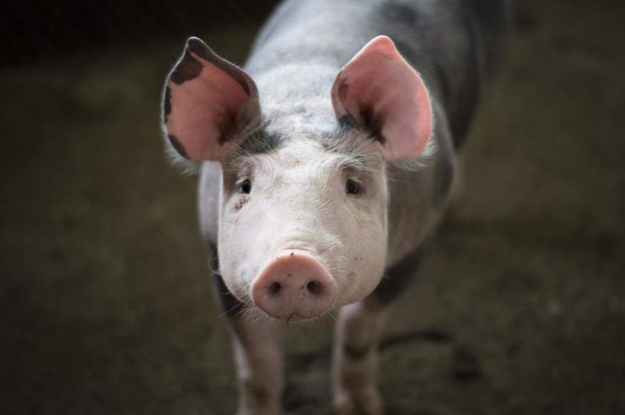 CBD Oil for Unconventional Pets Like Our Friend The Pig