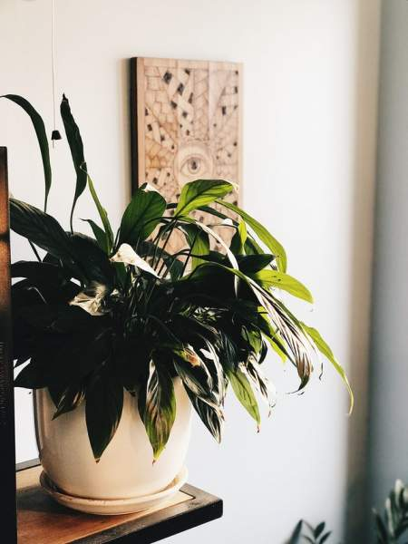 Peace Lily: Plants That Need Less care