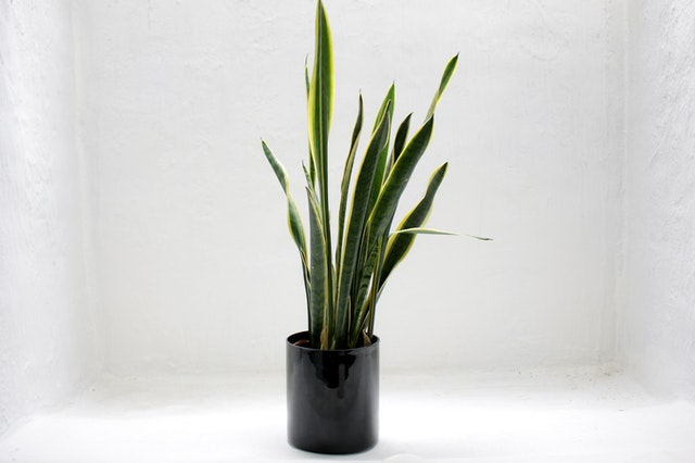 Snake plant: Plants That Need Less care