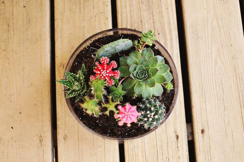Cactus Combo Bonsai