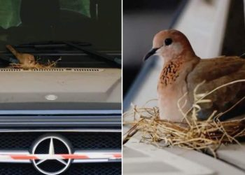 Pigeon Build Nest on Mercedes