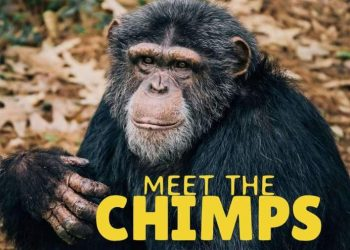 Disney+ Reveals Trailer of Meet The Chimps