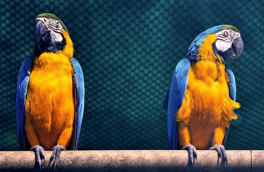 Lifespan of Parrots