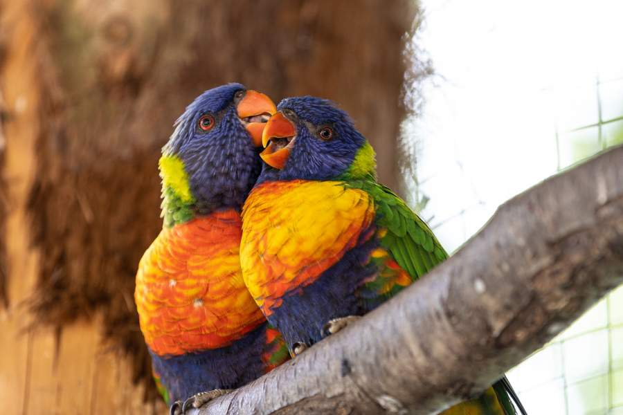 What influences the parrot lifespan