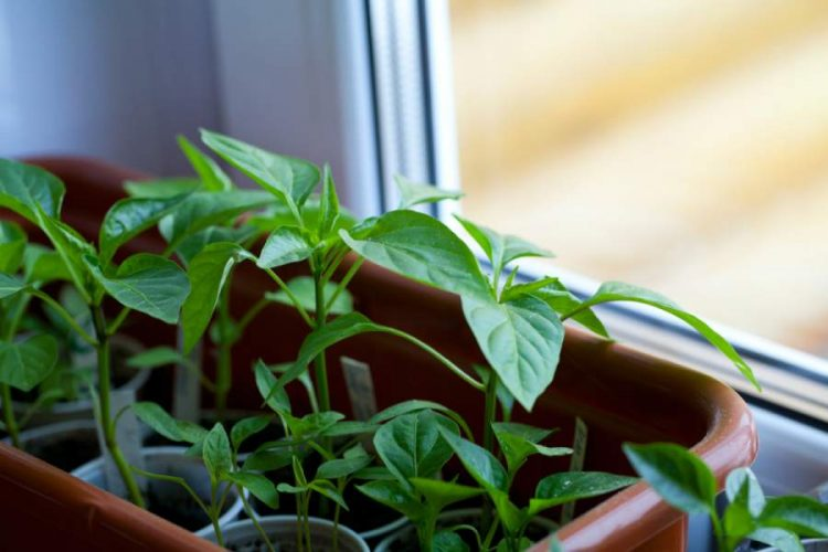 Grow Vegetables Indoors without Soil