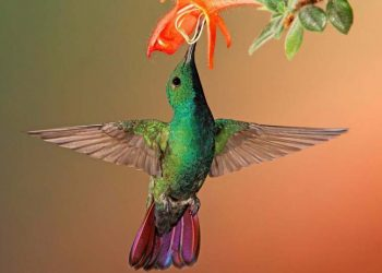 10 Facts About Hummingbird