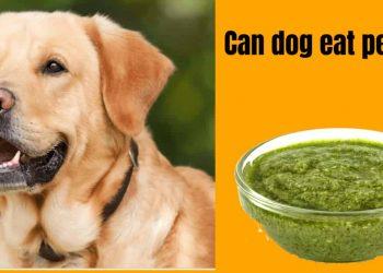 Can Dog Eat Pesto