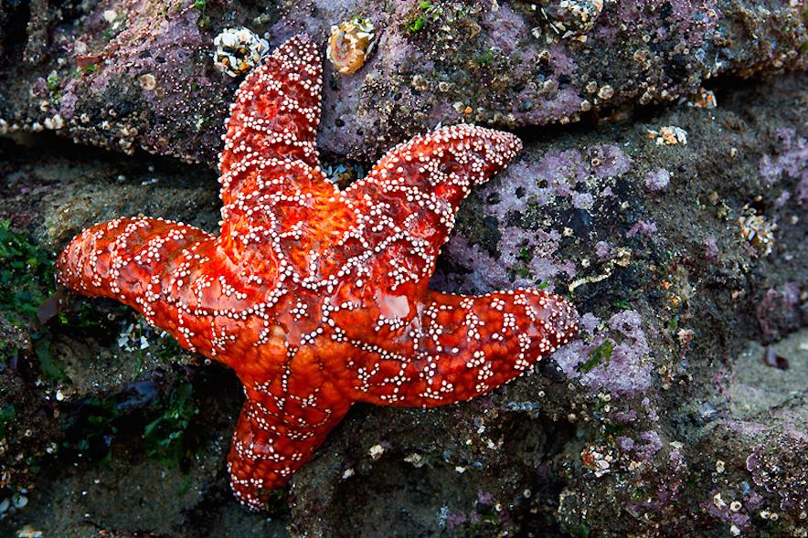 What do Starfish Eat