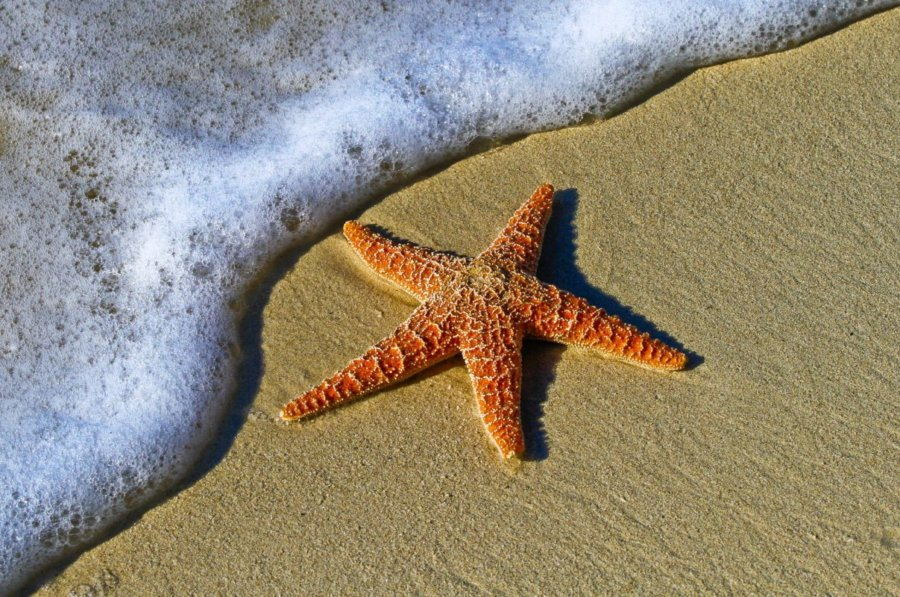 Do Starfish have Brain