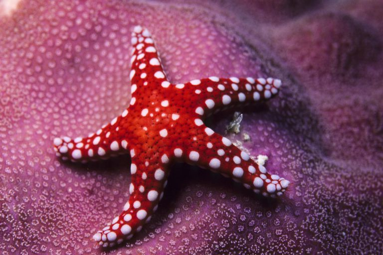 How do Starfish Reproduce