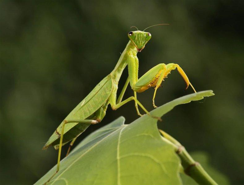 What Do Praying Mantis Eat