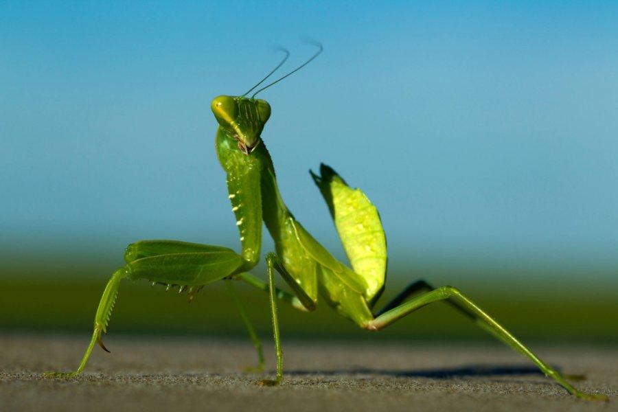 Do Praying Mantis Bite
