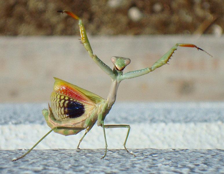 Do Praying Mantis Fly
