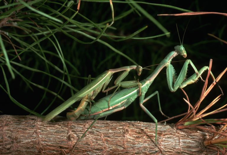 Female Mantis Eating Their Partners