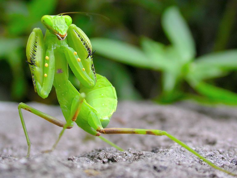 A Mantis Uses Front Legs To Capture The Victims
