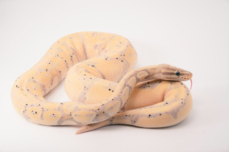 Most Active and Curious Snakes as Pets